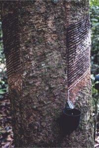 Caoutchouc Amazonie